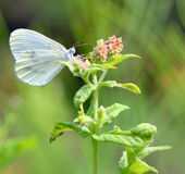 Pieris brassicae, Cabbage butterfly Royalty Free Stock Image
