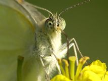 Pieris brassicae cabbage white Royalty Free Stock Image