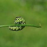 Pieris brassicae caterpillar Royalty Free Stock Images