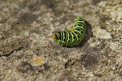 Pieris brassicae caterpillar Royalty Free Stock Photos