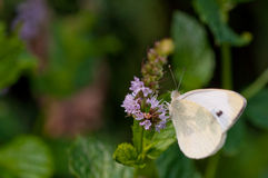 Pieris brassicae close up Royalty Free Stock Images