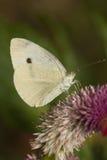 Pieris Brassicae de la mariposa Imagen de archivo