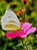 Pieris brassicae - farfalla di cavolo bianco Immagini Stock