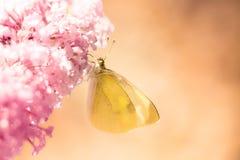 Pieris brassicae, il grande bianco, anche chiamato farfalla di cavolo immagini stock libere da diritti