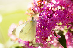 Pieris brassicae, the large white, also called cabbage butterfly Royalty Free Stock Photos