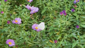 Cabbage buterfly feeding on an autumn aster bush stock video
