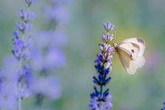 Pieris brassicae, the large white, also called cabbage butterfly Stock Photos