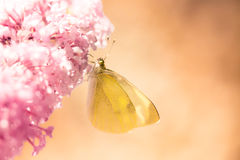 Pieris brassicae, the large white, also called cabbage butterfly Royalty Free Stock Images