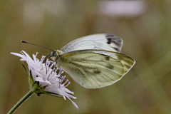Pieris brassicae, Large White, Cabbage Butterfly, Cabbage White Stock Photos