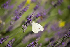 Pieris brassicae on Lavandula Stock Photos