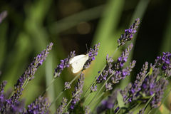 Pieris brassicae on Lavandula Stock Image