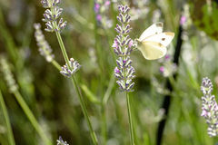 Free Pieris Brassicae, The Large White,  Called Cabbage Butterfly Royalty Free Stock Photo - 77753555