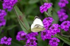 Free Pieris Brassicae, White Big Butterfly Close-up Sits On A Plant Verbena Rigida Royalty Free Stock Photo - 124903425