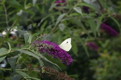 Free Pieris Brassicae White Butterfly Stock Images - 105783004