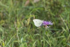 Pieris brassicae, white butterfly sitting on Carduus acanthoides Royalty Free Stock Image