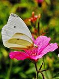 Pieris brassicae - White Cabbage Butterfly. Cabbage white butterfly on a beautiful pink flower of Details Stock Images