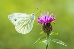 Pieris brassicae wielki białego lub kapuścianego motyla zapylać zdjęcie stock