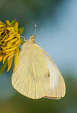 Pieris brassicae Stock Photography