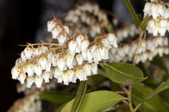 Pieris (Brouwer's Beauty) Royalty Free Stock Photo