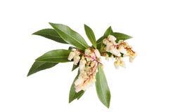 Pieris flowers Royalty Free Stock Photography