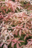 Pieris 'Forest Flame' Royalty Free Stock Photos