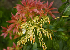 Pieris forest flame garden plant. Stock Photography