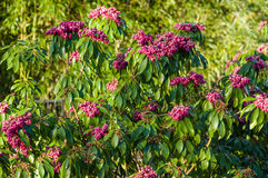 Pieris japonica bush in full flower Royalty Free Stock Photography