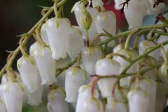 Pieris japonica Stock Photo