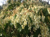 Pieris Japonica, Japanese Andromeda 'Temple Bells' Plant Blossoming. Royalty Free Stock Photo