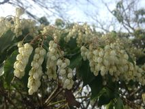 Pieris Japonica, Japanese Andromeda 'Temple Bells' Plant Blossoming. Royalty Free Stock Photos