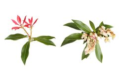 Pieris Japonica Royalty Free Stock Images