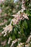 Pieris japonica subsp. japonica Stock Images