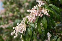 Pieris japonica subsp. japonica Stock Image