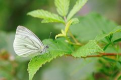 Pieris napi on bramble branch Stock Photos