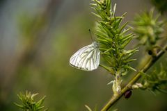 Pieris napi cabbage white on green on a willow branch and with green background. stock image