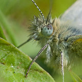 Pieris napi in extreme closeup Stock Photos