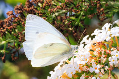 Pieris Napi Royalty Free Stock Photography