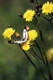 Pieris rapae butterfly Stock Image