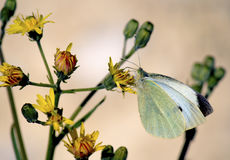 Pieris rapae butterfly Royalty Free Stock Image