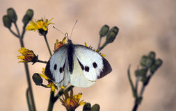 Pieris rapae butterfly Stock Photos