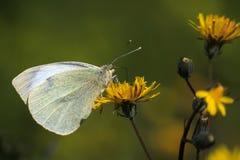 Pieris rapae butterfly Royalty Free Stock Photos