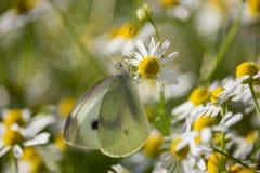 Pieris rapae on Matricaria chamomilla. Pieris rapae Butterfly on Matricaria chamomilla Flower on Sunset on Spring stock photography