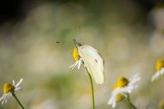 Pieris rapae on Matricaria chamomilla. Pieris rapae Butterfly on Matricaria chamomilla Flower on Sunset on Spring royalty free stock image
