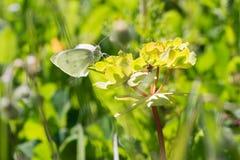 Pieris Rapae-Schmetterling auf einer Blume stockfotos