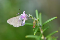 Pieris rapae small cabbage white butterfly Royalty Free Stock Photos