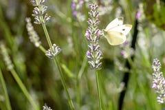 Pierisbrassicae, den stora viten som kallas kålfjäril Royaltyfri Foto