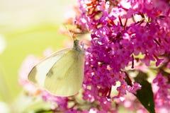Pierisbrassicae, den stora viten som kallas också kålfjäril Royaltyfria Foton