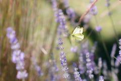 Pierisbrassicae, den stora viten som kallas också kålfjäril Arkivbilder