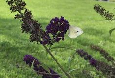 Pierisbrassicae op purpere bloem Stock Foto