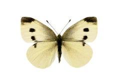 蝴蝶圆白菜空白pieris的rapae 库存照片